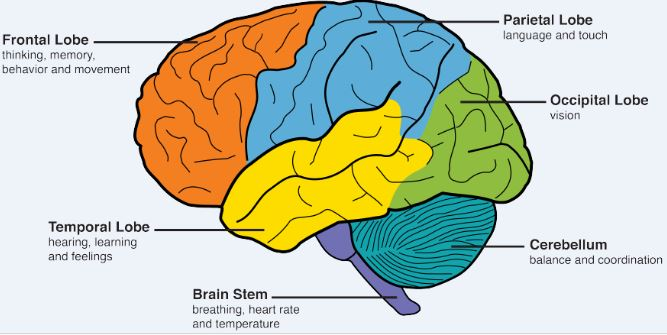 Different sections of Human Brain are responsible for different actions